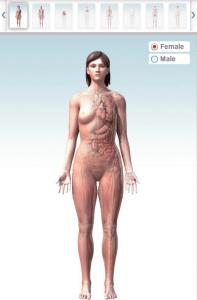 animatie 3D a corpului uman - femeie