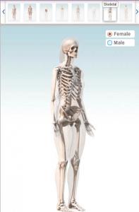 animatie 3D a corpului uman -sistemul osos
